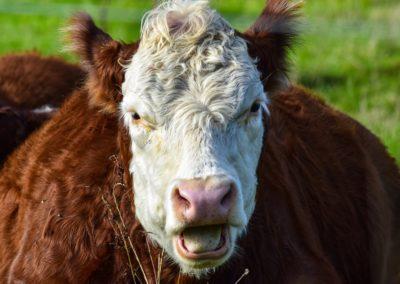 cow-2821521_1280